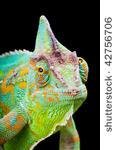 stock-photo-yemen-or-veiled-chameleon-sitting-on-a-cactus-leaf-42756706