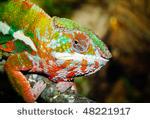 stock-photo-chameleon-48221917